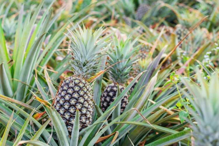 Jak rośnie ananas - właśnie tak!